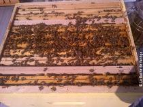Beaucoup d'abeilles sur les cadres