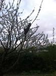 Essaim dans un cerisier