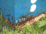 Essaim mis en ruche