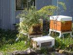 Abeilles sur la façade de la ruche