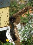 Les abeilles rentrent dans la ruchette