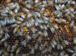 Miel et pollen