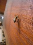 Une abeille bat le rappel