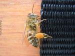 Une abeille avec pollen
